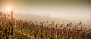 Panoramic view of vines and vineyard in fog, Barolo wine region, Langhe, Piedmont. Italyの写真素材 [FYI03556453]