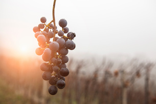 Bunch of grapes and vineyard in fog, Barolo wine region, Langhe, Piedmont. Italyの写真素材 [FYI03556454]