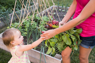 Mother and young daughter, gardening together, gathering fresh vegetablesの写真素材 [FYI03556702]