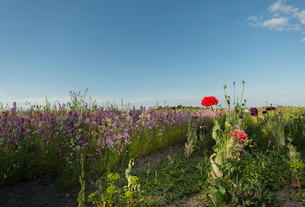 Field of red and purple wildflowers in eveningの写真素材 [FYI03556934]