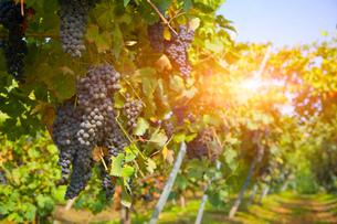 Vineyard, Langhe Nebbiolo, Piedmont, Italyの写真素材 [FYI03557361]