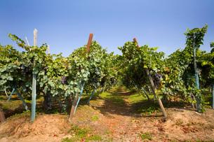 Vineyard, Langhe Nebbiolo, Piedmont, Italyの写真素材 [FYI03557364]