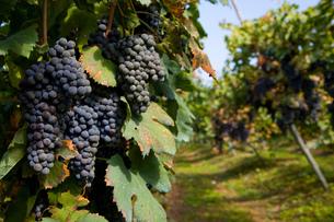 Vineyard, Langhe Nebbiolo, Piedmont, Italyの写真素材 [FYI03557365]
