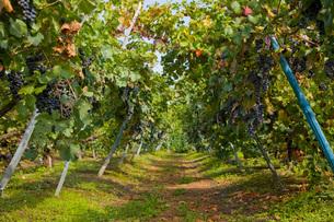 Vineyard, Langhe Nebbiolo, Piedmont, Italyの写真素材 [FYI03557366]
