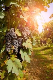Vineyard, Langhe Nebbiolo, Piedmont, Italyの写真素材 [FYI03557369]