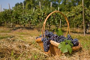 Basket of grapes, Langhe Nebbiolo, Piedmont, Italyの写真素材 [FYI03557370]
