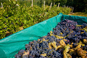 Harvested grapes, Langhe Nebbiolo, Piedmont, Italyの写真素材 [FYI03557371]