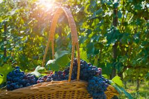 Basket of grapes, Langhe Nebbiolo, Piedmont, Italyの写真素材 [FYI03557372]