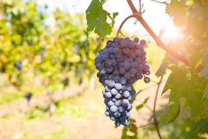Bunch of grapes on tree, Langhe Nebbiolo, Piedmont, Italyの写真素材 [FYI03557374]