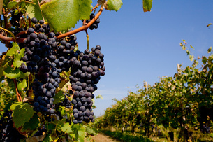 Bunches of grapes on tree, Langhe Nebbiolo, Piedmont, Italyの写真素材 [FYI03557375]