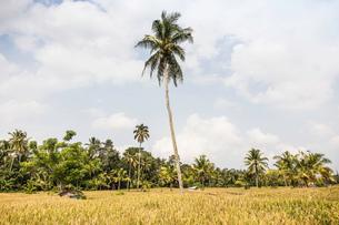 Field landscape with tall palm tree, Ubud, Bali, Indonesiaの写真素材 [FYI03557889]