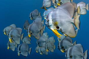 School of Longfin Batfish (Platax Teira), Aliwal Shoal, South Africaの写真素材 [FYI03558475]