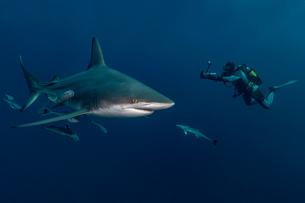 Scuba diver filming Oceanic Blacktip Shark (Carcharhinus Limbatus), Aliwal Shoal, South Africaの写真素材 [FYI03558478]
