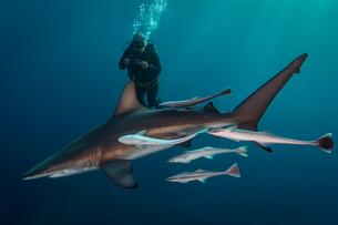 Large Oceanic Blacktip Shark (Carcharhinus Limbatus) circling diver, Aliwal Shoal, South Africaの写真素材 [FYI03558482]