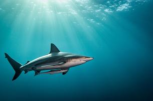 Oceanic Blacktip Shark (Carcharhinus Limbatus) swimming near surface of ocean, Aliwal Shoal, South Aの写真素材 [FYI03558484]