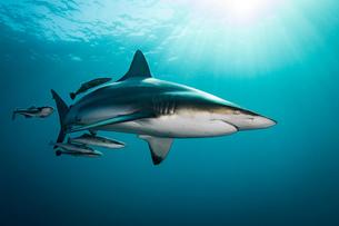 Oceanic Blacktip Shark (Carcharhinus Limbatus) swimming near surface of ocean, Aliwal Shoal, South Aの写真素材 [FYI03558486]