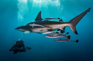 Large Oceanic Blacktip Shark (Carcharhinus Limbatus) circling diver, Aliwal Shoal, South Africaの写真素材 [FYI03558487]