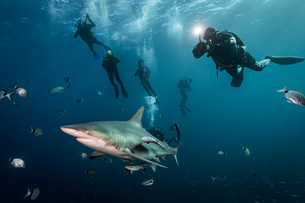 Scuba divers' encounter with large Oceanic Blacktip Shark (Carcharhinus Limbatus), Aliwal Shoal, Souの写真素材 [FYI03558488]