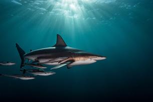 Oceanic Blacktip Shark (Carcharhinus Limbatus) swimming near surface of ocean, Aliwal Shoal, South Aの写真素材 [FYI03558498]