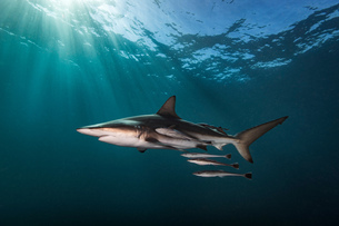 Oceanic Blacktip Shark (Carcharhinus Limbatus) swimming near surface of ocean, Aliwal Shoal, South Aの写真素材 [FYI03558504]