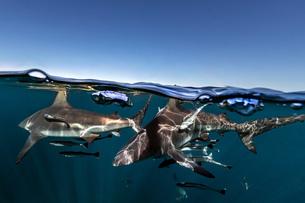 Oceanic Blacktip Sharks (Carcharhinus Limbatus) swimming near surface of ocean, Aliwal Shoal, Southの写真素材 [FYI03558507]