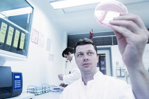 Scientist examining sample in petri dishの写真素材 [FYI03558551]