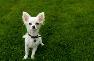 Long-haired Chihuahua sitting on grassの写真素材 [FYI03559556]