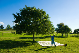 Man retrieving walnuts from tree with pole in walnut groveの写真素材 [FYI03560904]