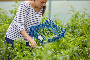 Woman in polytunnel harvesting fresh chilli peppersの写真素材 [FYI03561220]
