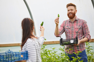 Couple in polytunnel harvesting fresh chilli peppersの写真素材 [FYI03561221]