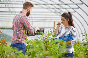 Couple in polytunnel harvesting fresh chilli peppersの写真素材 [FYI03561222]