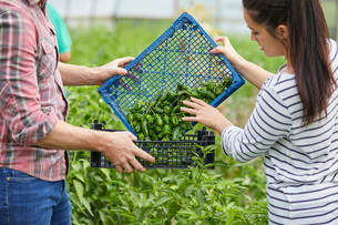 Couple in polytunnel harvesting fresh chilli peppersの写真素材 [FYI03561223]