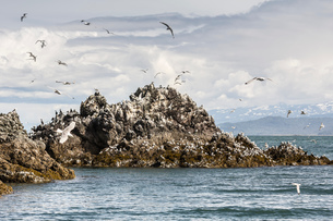 Seagulls flying around Gull Island, Kachemak Bay, Alaska, USAの写真素材 [FYI03561297]