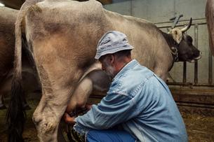 Senior male dairy farmer milking cow in shed, Sattelbergalm, Tyrol, Austriaの写真素材 [FYI03561966]