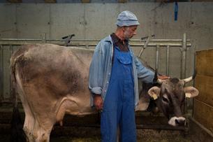 Senior male dairy farmer petting cow in shed, Sattelbergalm, Tyrol, Austriaの写真素材 [FYI03561971]