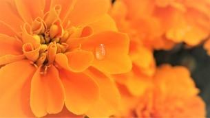 マリーゴールド開花途中の花弁に一滴の雫の写真素材 [FYI03562499]