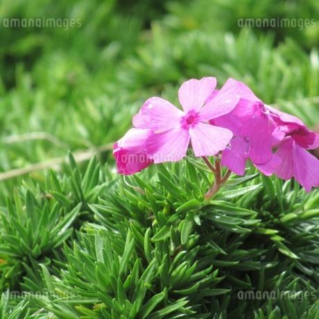 秋の日の雨上がり芝桜の花開くの写真素材 [FYI03562574]