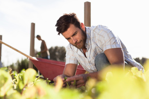 Mature man inspecting seedling in gardenの写真素材 [FYI03562637]
