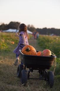 Young girl walking along rural pathway, pulling wheelbarrow full of pumpkins, rear viewの写真素材 [FYI03562770]
