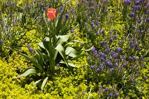 Solitary pink Tulipa - Tulip flower growing in garden border with Lysimachia nummularia Aurea/Goldenの写真素材 [FYI03563121]
