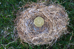 Close-up of Housefinch - Haemorhous mexicanus bird nest with Canadian one dollar coin on a green graの写真素材 [FYI03563152]
