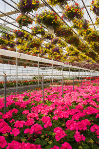 Commercial greenhouse with red and yellow mixed flowers in hanging baskets and pink Pelargonium - Geの写真素材 [FYI03563157]