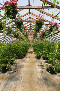 Commercial greenhouse with pink Pelargonium - Geraniums in hanging baskets and Solanum lycopersicumの写真素材 [FYI03563165]