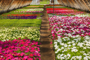 Commercial greenhouse with tightly packed mixed purple, white, pink and red Cosmos flowers in contaiの写真素材 [FYI03563168]