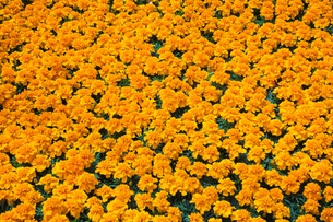 Packed orange Tagetes - Marigold flowers in containers in commercial greenhouse in springの写真素材 [FYI03563170]