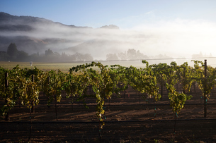 Rows on grape vines in vineyard, California, USAの写真素材 [FYI03563207]
