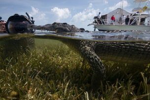 Underwater photographer near a resting american croc (Crocodylus acutus) at Chinchorro Banks, Mexicoの写真素材 [FYI03563769]