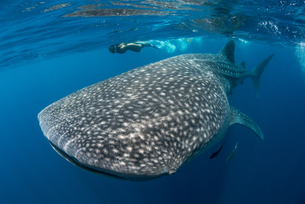 Whale shark (Rhincodon Typus) and diver swimming near surface of water, Contoy Island, Mexicoの写真素材 [FYI03564169]