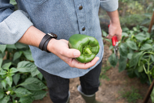 Mid section of man holding green pepper in organic farm poly tunnelの写真素材 [FYI03565066]