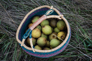 Overhead view of harvested pears in basketの写真素材 [FYI03565069]